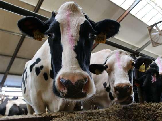 Spomlek płaci za żywienie krów paszami bez GMO