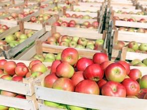 Jabłek nie zabraknie, ale będą droższe
