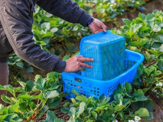 Rolnicy będą musieli podpisywać umowy z pracownikami sezonowymi