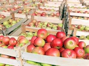 Chopin: nowa odmiana jabłoni