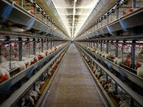 Europejska batalia o lepsze życie dla zwierząt hodowlanych