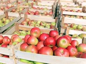 Rynek jabłek. Jak go ugryźć?