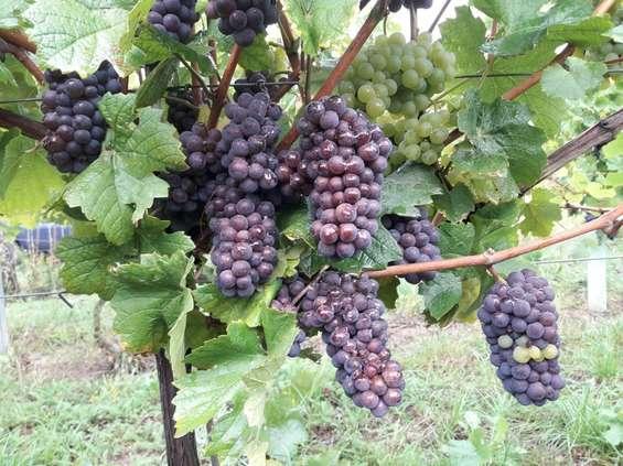 W poszukiwaniu polskiego wina, czyli Winnice Wzgórz Trzebnickich