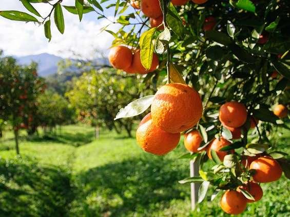 Owoce zimowe - pomarańcze
