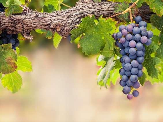 Wina organiczne pną się w górę