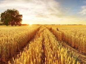 Deszcz przywrócił nadzieje na dobre zbiory pszenicy