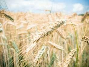 FAO: globalne ceny żywności lekko w dół