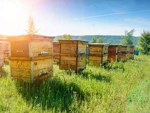 Pszczoły na salony