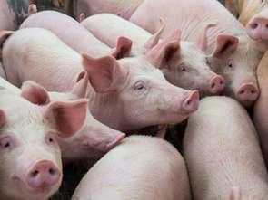 Wieprzowina z Polski: zakręcony rynek