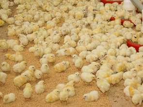 Kosiniak-Kamysz: nie dla piątki dla zwierząt, tak dla piątki dla rolników