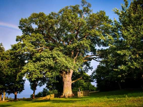 Fajniaki zatroszczą się o jedno z najstarszych drzew